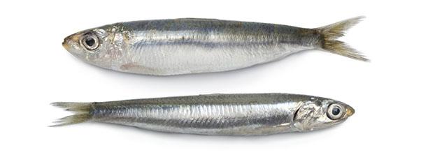lineas_para_conserva_de_sardina_y_anchoveta