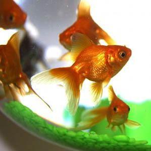 декоративни рибки